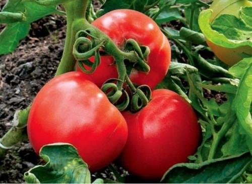 Строби для томатов