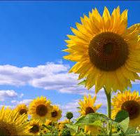 """ПБФ """"КОЛОС"""" предлагает качественные семена подсолнечника от производителя"""